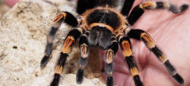 Black and yellow tarantula