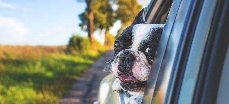 A dog peeking out of a car window.